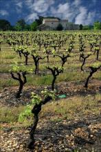 Vignoble au printemps